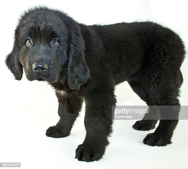 puppy eyes - newfoundland dog stock photos and pictures