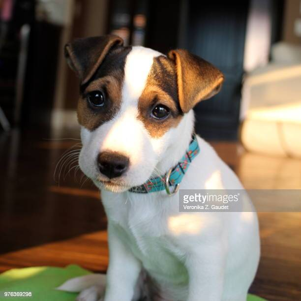 puppy eyes - jack russell terrier foto e immagini stock