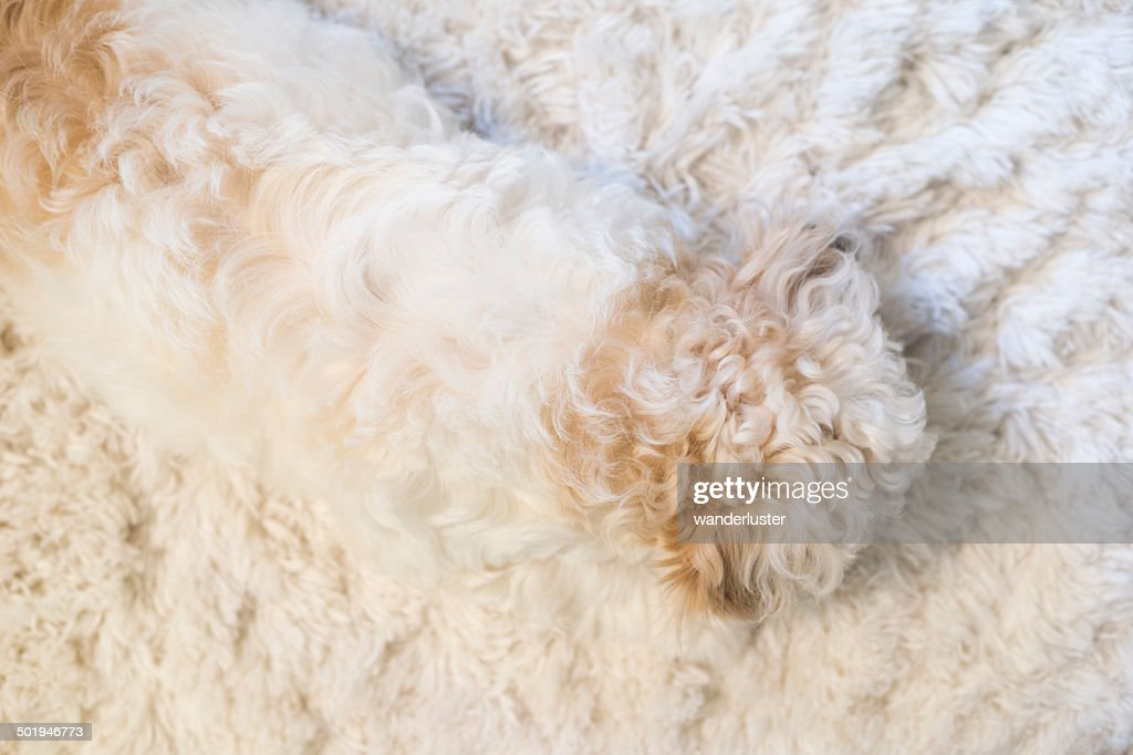 Puppy fur blends into fluffy white rug : Stock Photo