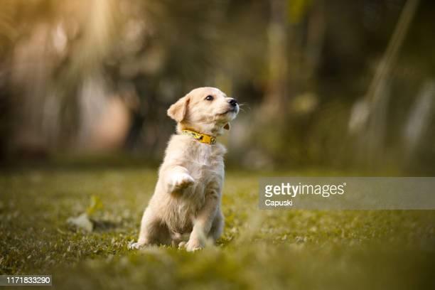 filhote de cachorro que dá a pata - filhote de cachorro - fotografias e filmes do acervo