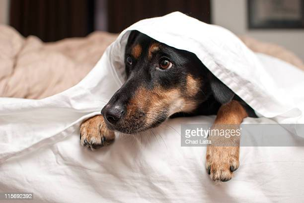 Puppy hiding under sheets