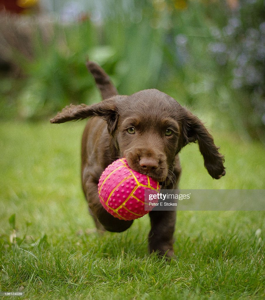 Puppy holding ball in mouth : Stock Photo