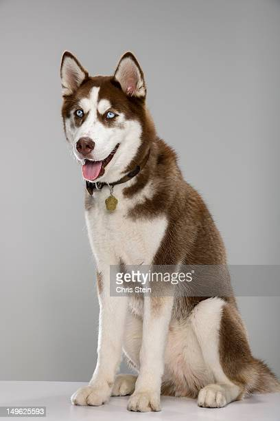 puppy husky portrait - husky dog stock pictures, royalty-free photos & images