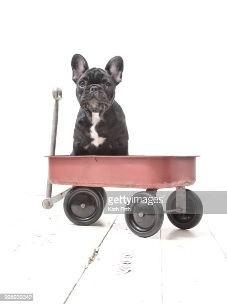puppy in a cart - toy wagon stock photos and pictures