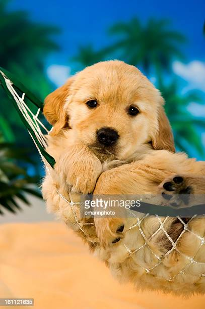 puppy in a hammock - pampered pets stock pictures, royalty-free photos & images