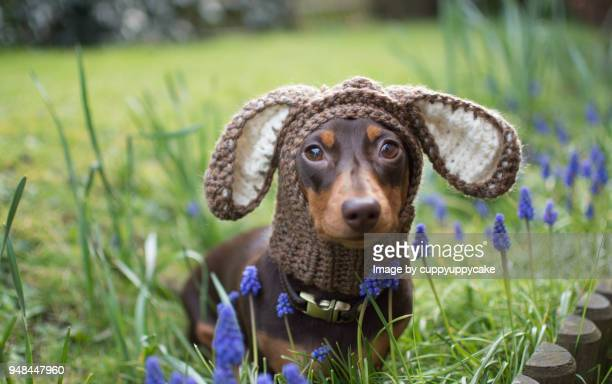puppy in a hat - muscari armeniacum stock pictures, royalty-free photos & images