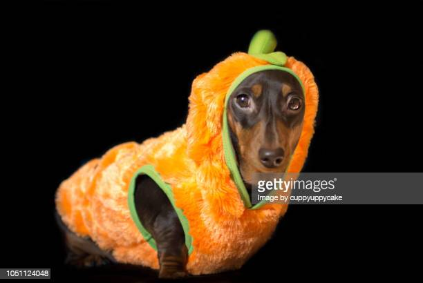 puppy in a pumkin costume - animal costume stock pictures, royalty-free photos & images