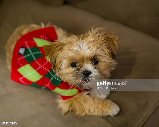 Puppy in Christmas sweater