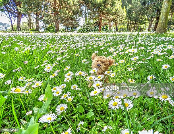 puppy in the middle of a field of daisies