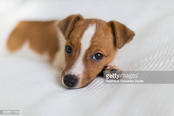 puppy jack russel on the bed