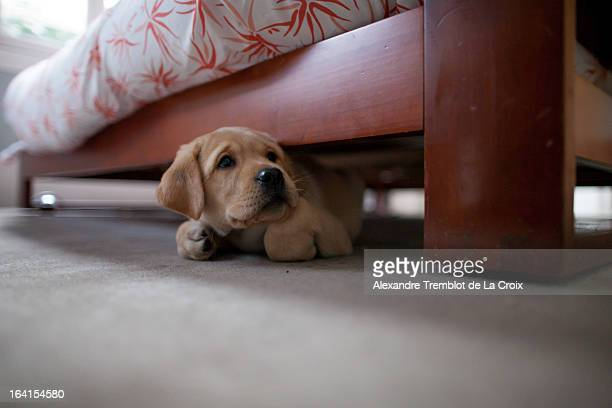 Puppy lab under bed