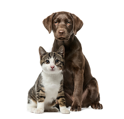 Puppy Labrador Retriever sitting, kitten domestic cat sitting, in front of white background 1069530994