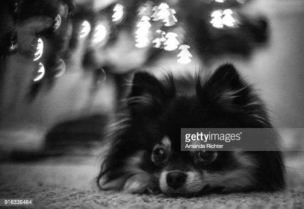 puppy lights - noel noir et blanc photos et images de collection