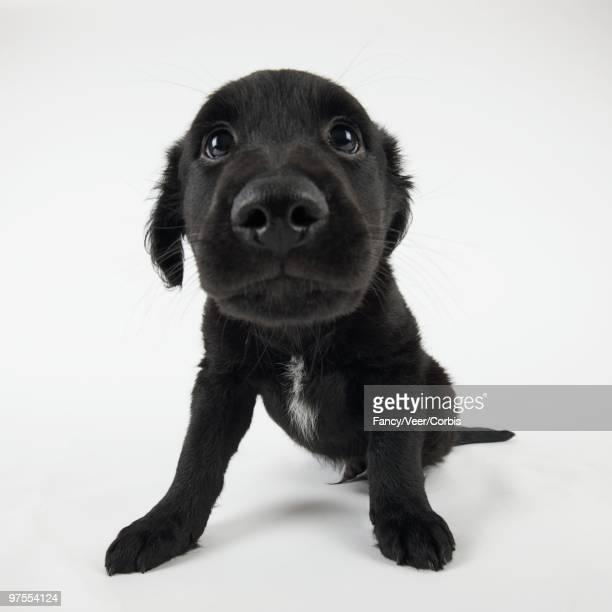Puppy Looking at Camera