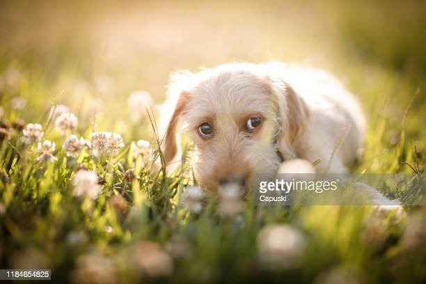 puppy looking sideway - mongrel dog stock pictures, royalty-free photos & images
