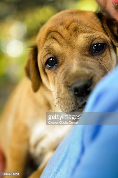 puppy love... - puggle stockfoto's en -beelden