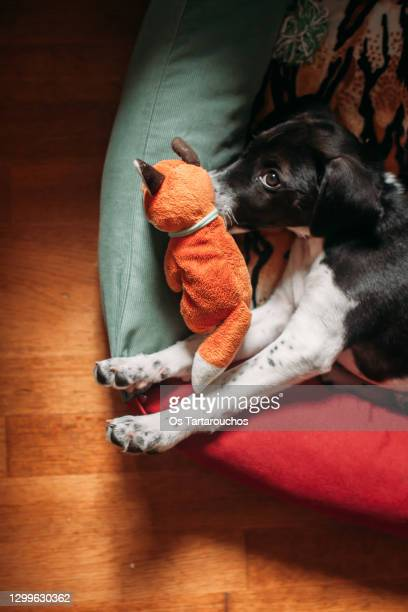 puppy lying in its pet bed and playing with a plush - fuchspfote stock-fotos und bilder