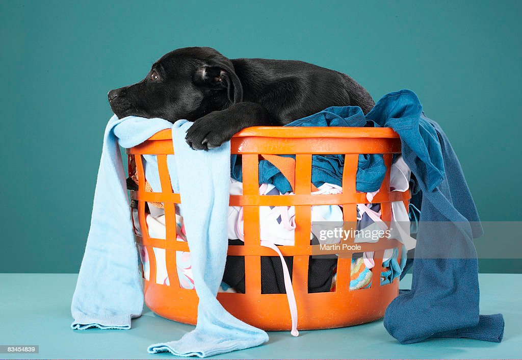 Puppy lying in laundry basket : Stock Photo