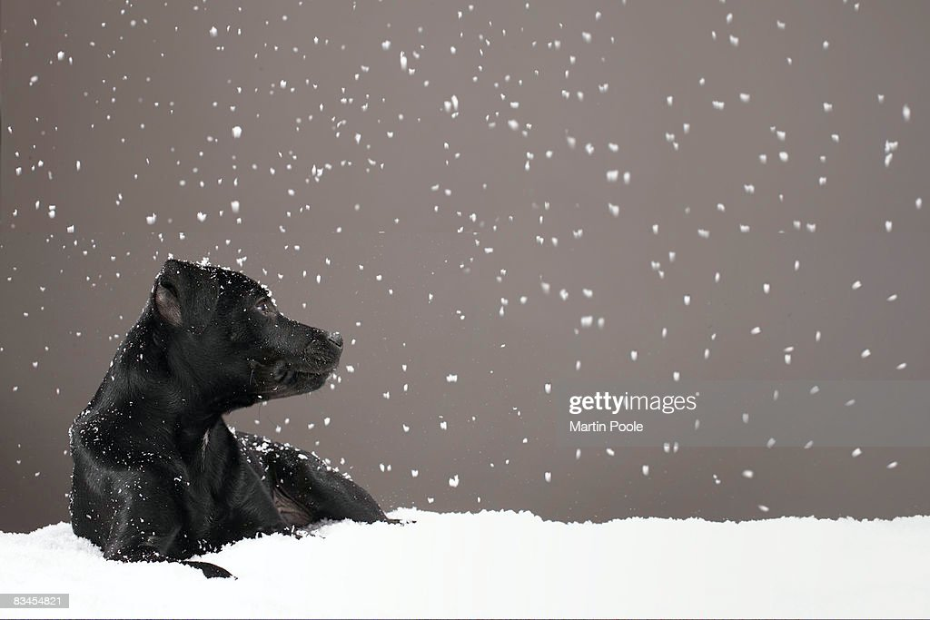 Puppy lying in snow watching snowflakes : Stock Photo
