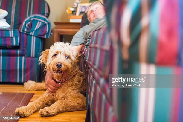 puppy makes a good arm rest - goldendoodle stock photos and pictures