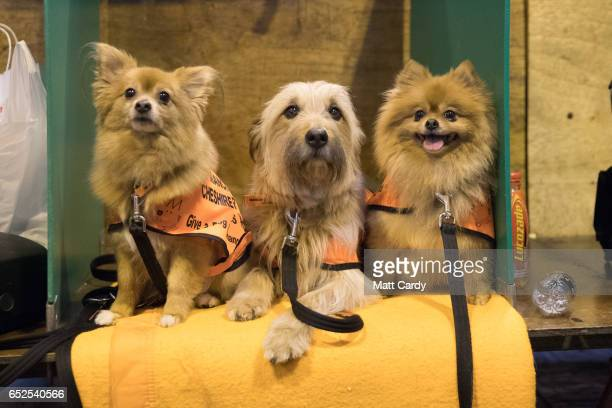 Puppy, Max and Betty dogs from the Manchester and Cheshire Dogs Home sit in their bench on the final day of the Crufts Dog Show at the NEC Arena on...