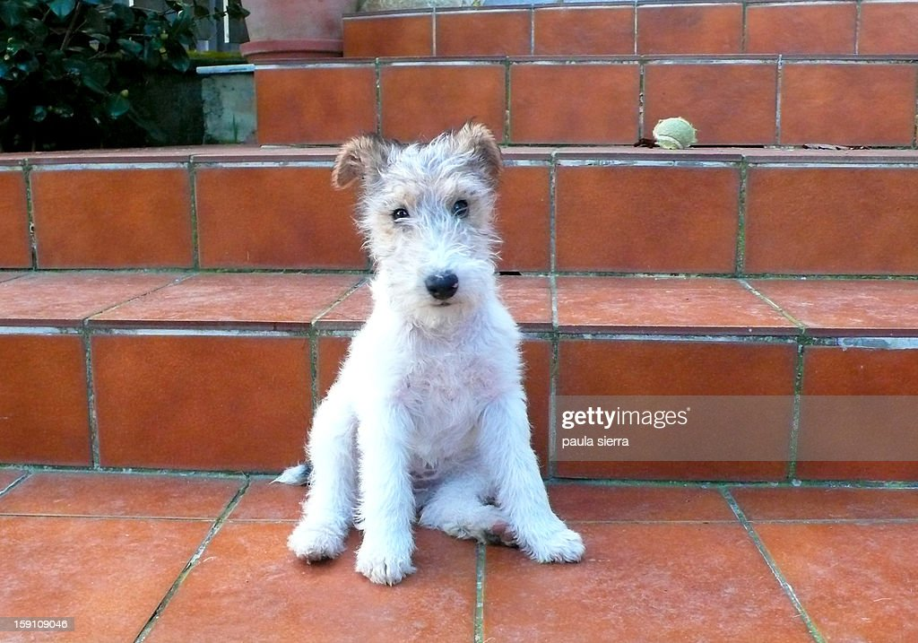 puppy of fox terrier : Stock Photo