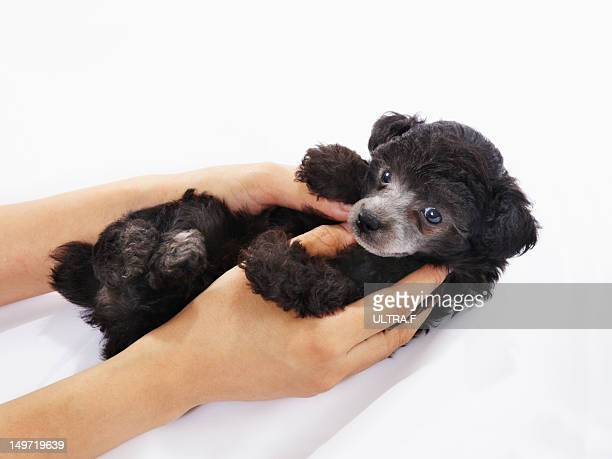 puppy of miniature poodle - miniature poodle stock photos and pictures