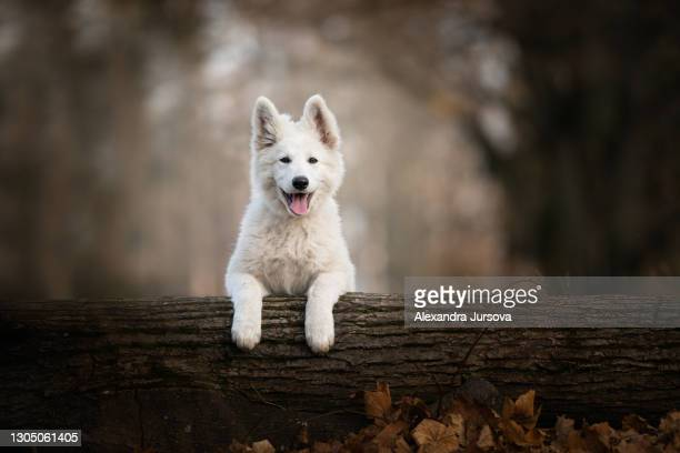puppy of white swiss shepherd (longhair) - malacky stock pictures, royalty-free photos & images