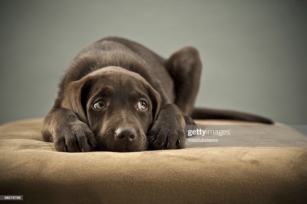 Puppy on ottoman : Stock Photo