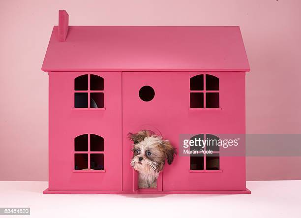 puppy peering out of doll's house  - ドールハウス ストックフォトと画像