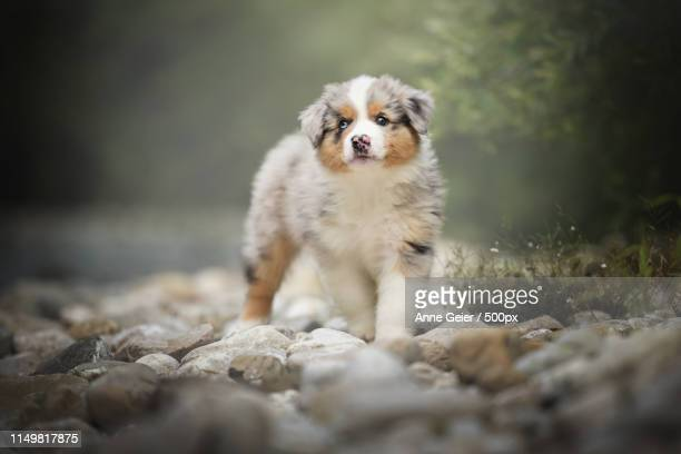 puppy - australian shepherd puppies stock pictures, royalty-free photos & images
