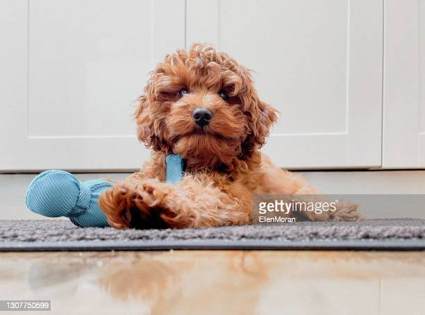 puppy - pet toy stock pictures, royalty-free photos & images