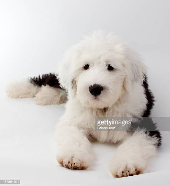 puppy - old english sheepdog stock pictures, royalty-free photos & images