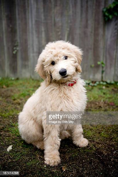 puppy - goldendoodle stock-fotos und bilder