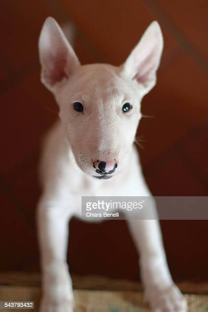puppy - bull terrier stock photos and pictures
