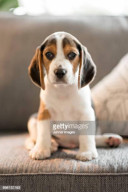 puppy - ビーグル ストックフォトと画像