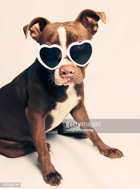 Puppy pit bull terrier Dog wearing heart shaped sunglasses