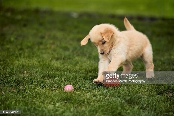 puppy playing in field - puppy stock pictures, royalty-free photos & images