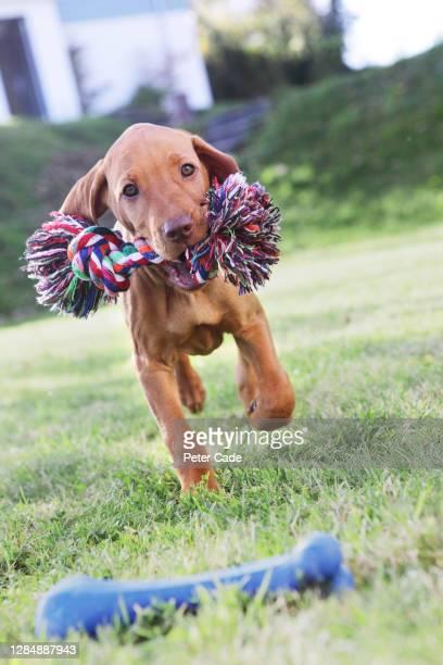 puppy playing on grass - くわえる ストックフォトと画像