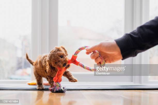 子犬遊ぶ綱引き - イヌのおもちゃ ストックフォトと画像