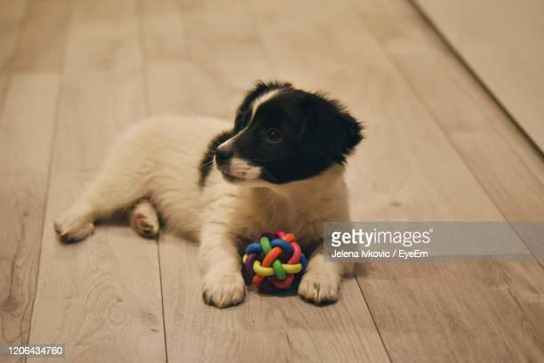 puppy relaxing on wooden floor - jelena ivkovic stock pictures, royalty-free photos & images