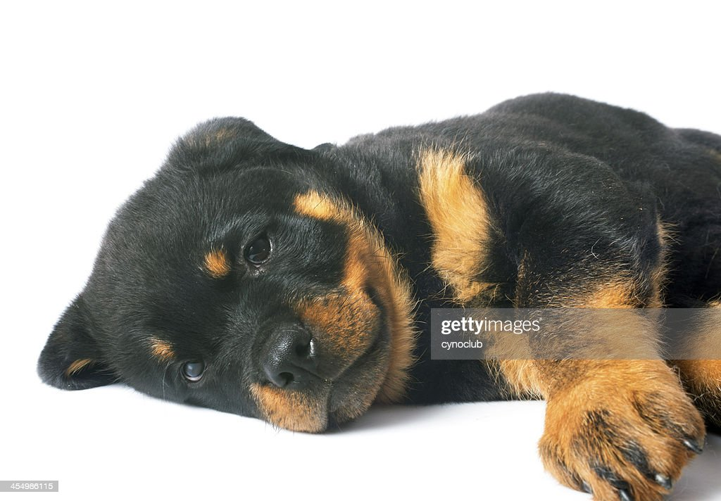 puppy rottweiler : Stock Photo