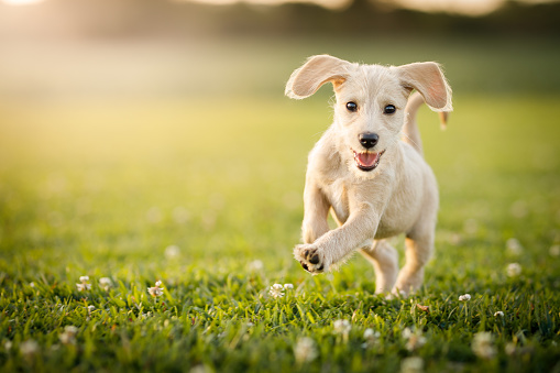 Puppy running at the park 1184654849