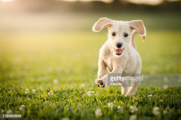 puppy running at the park - springtime stock pictures, royalty-free photos & images