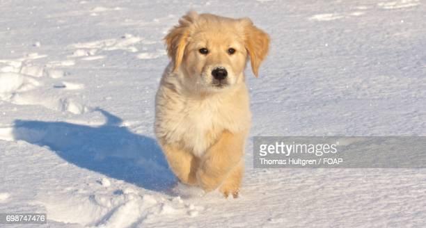 Puppy running in snow
