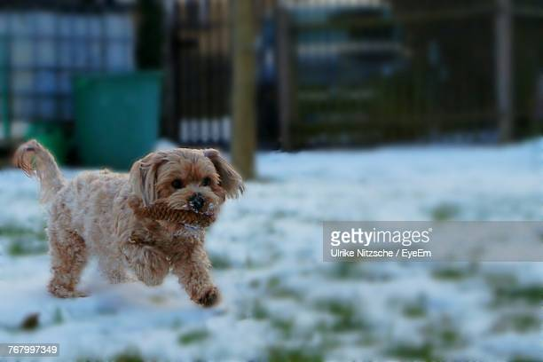 Puppy Running On Snow Covered Field