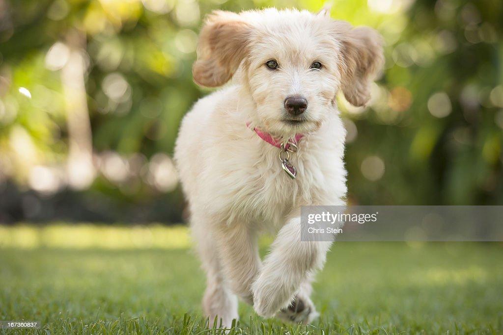 Puppy running through the grass : Stock Photo