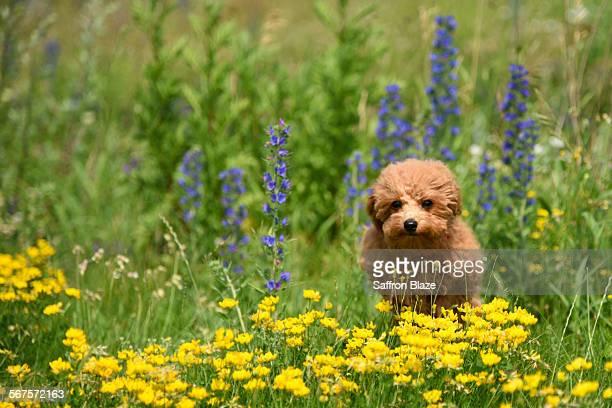 Puppy running through wild flowers