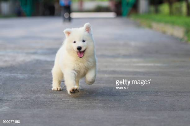 Puppy Samoyed boy