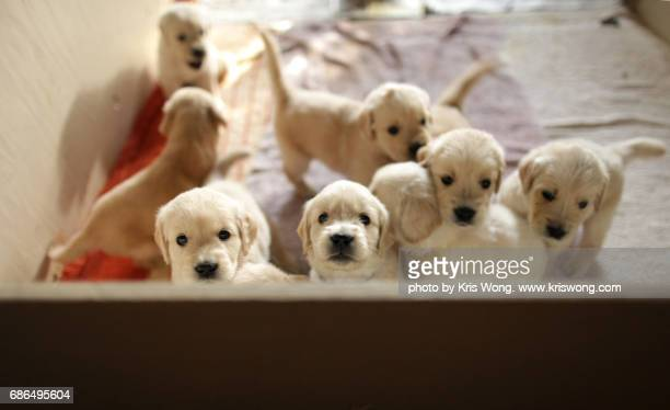 puppy siblings looking at camera - young animal stock pictures, royalty-free photos & images